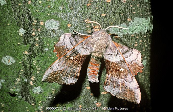 Poplar Hawk Moth (Laothoe populi), United Kingdom  -  Premaphotos/ npl