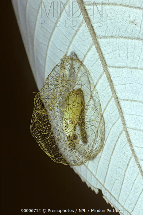 Tiger Moth (Arctiidae) pupa in a cocoon protected with stinging hairs from the caterpillar, in tropical dry forest, Costa Rica  -  Premaphotos/ npl