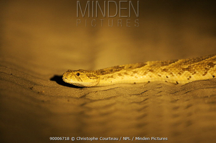 Puff Adder (Bitis arietans) at night on a road in the Kalahari Desert, Botswana  -  Christophe Courteau/ npl