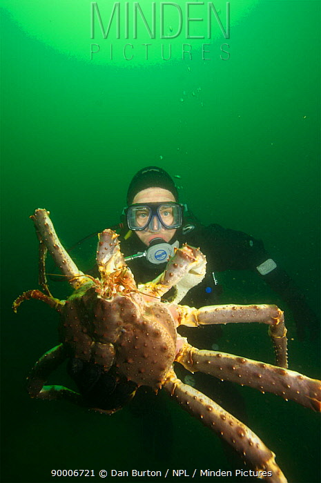 Diver with Giant red king crab (Paralithodes camtschaticus) Kirkiness, Norway  -  Dan Burton/ npl