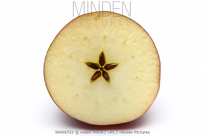 Cross section through apple showing star shape with pips, seeds  -  Adam White/ npl