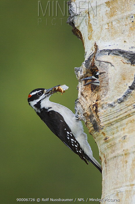 Hairy Woodpecker (Picoides villosus) male brings insect prey to young at nest hole in Aspen tree, Rocky Mountain National Park, Colorado  -  Rolf Nussbaumer/ npl
