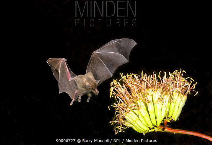 Southern Long-nosed Bat (Leptonycteris curasoae) in flight, approaching to feed on nectar from agave plant Chiricahua Mountains, Arizona  -  Barry Mansell/ npl