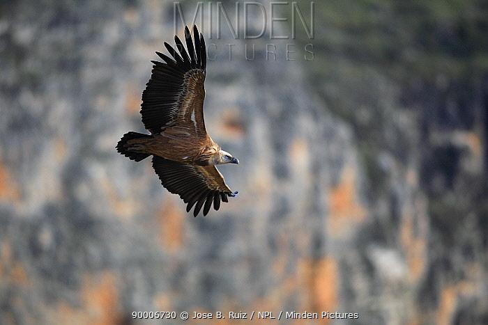 Griffon Vulture (Gyps fulvus) flying, Hoces del Durat?n, Segovia, Spain  -  Jose B. Ruiz/ npl