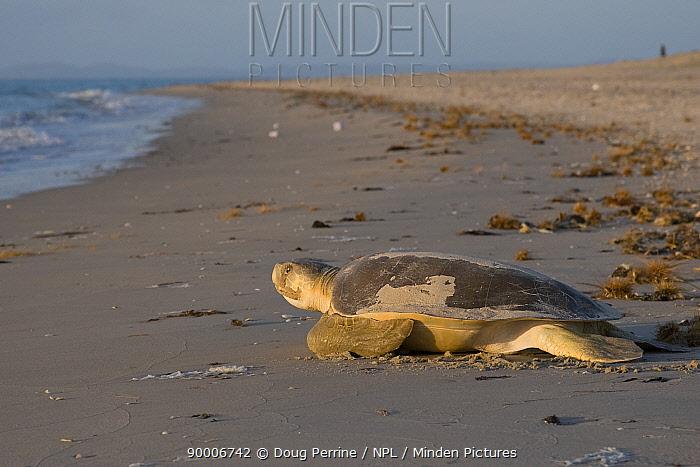 Australian flatback sea turtle (Natator depressus) female returns to the sea after laying eggs in nest in sand dunes, Crab Island, Torres Straits, Queensland, Australia  -  Doug Perrine/ npl