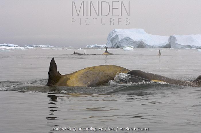Orca (Orcinus orca) pod in waters off the western Antarctic Peninsula, Antarctica, Southern Ocean  -  Steven Kazlowski/ npl
