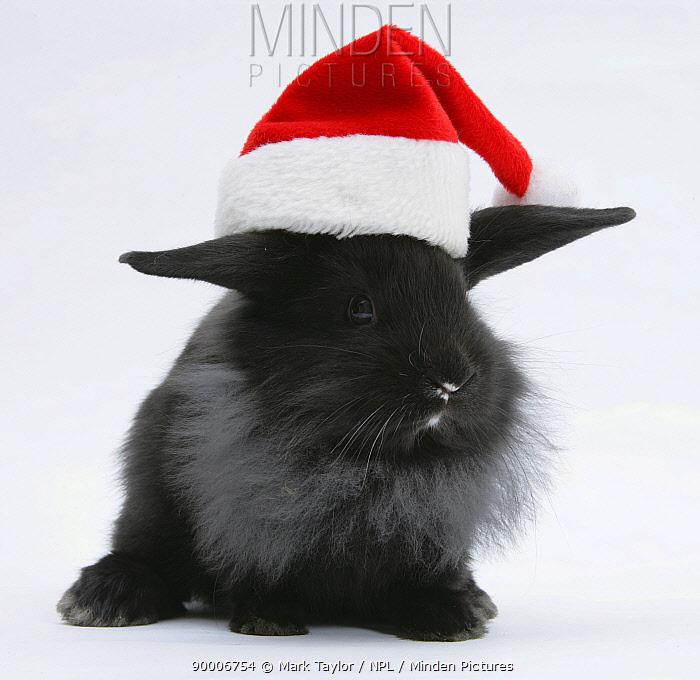 Black baby Dutch x Lionhead rabbit with Father Christmas hat on  -  Mark Taylor/ npl