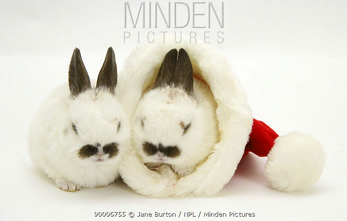 Two Baby rabbits in a Father Christmas hat  -  Jane Burton/ npl
