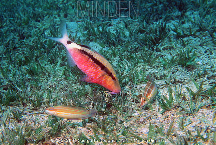 Longbarbel goatfish (Parupeneus macronemus) feeding in seagrass accompanied by wrasses hoping to catch escaping prey Egypt, Red Sea  -  Georgette Douwma/ npl