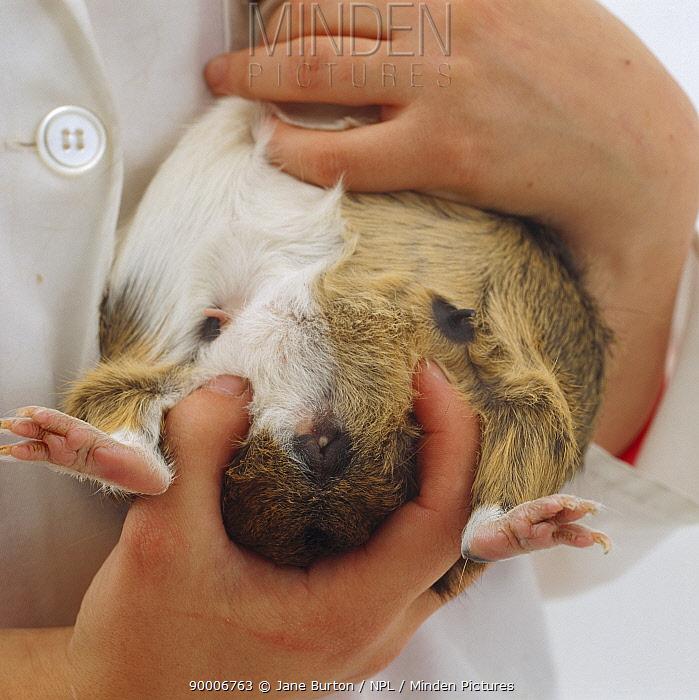 Guinea Pig (Cavia porcellus)Sexing a female Guinea pig  -  Jane Burton/ npl