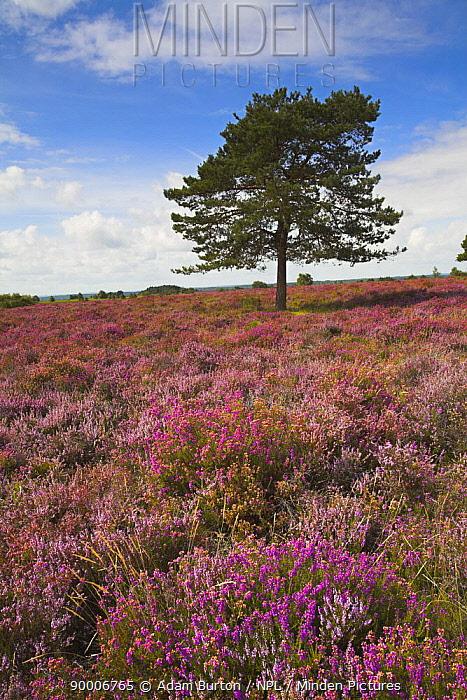 Single Scots Pine tree on on New Forest heathland in the Summer, Hampshire, England  -  Adam Burton/ npl