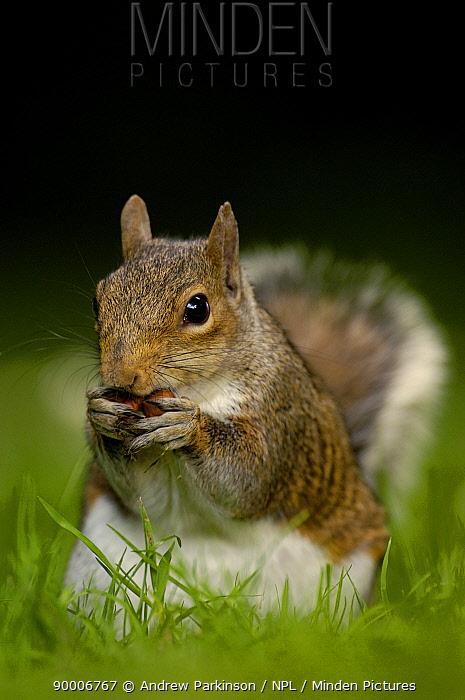 Eastern Gray Squirrel (Sciurus carolinensis) adult feeding on nut, Derbyshire, United Kingdom  -  Andrew Parkinson/ npl