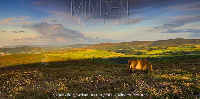 Exmoor pony (Equus caballus) grazing on Porlock Common, Exmoor National Park, Somerset, England  -  Adam Burton/ npl