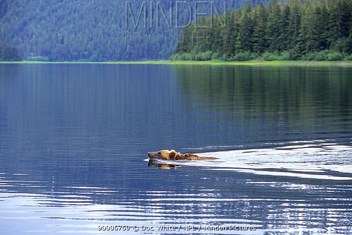 Brown Bear (Ursus arctos) swimming, Alaska  -  Doc White/ npl