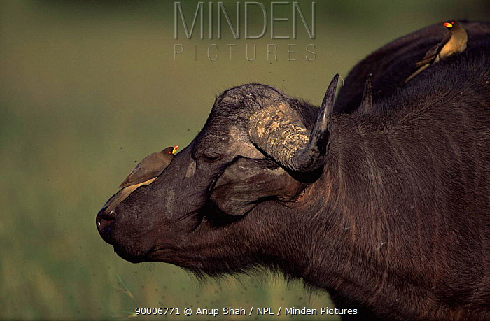 Cape Buffalo (Syncerus caffer) with oxpecker birds feeding on insects attracted to it, Masai Mara, Kenya  -  Anup Shah/ npl