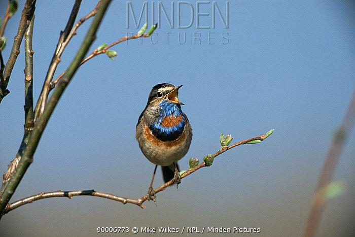 Bluethroat singing (Erithacus svecicus) Sweden June  -  Mike Wilkes/ npl