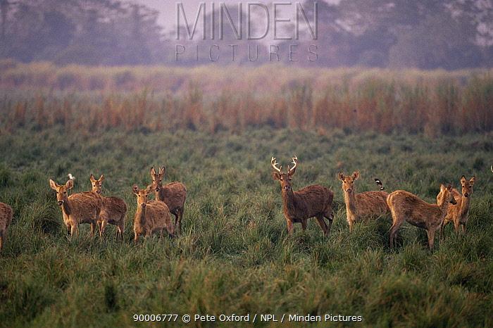 Barasingha deer (Cervus duvaucelii) Kaziranga NP, Assam, India  -  Pete Oxford/ npl