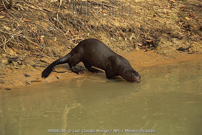 Giant River Otter (Pteronura brasiliensis) drinking, Pixaim river, Pantanal, Mato Grosso, Brazil  -  Luiz Claudio Marigo/ npl