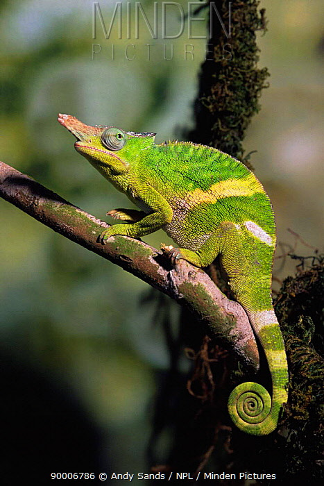 Minden pictures stock photos giant fischer chameleon bradypodion giant fischer chameleon bradypodion fischeri male on a branch captive united kingdom thecheapjerseys Choice Image