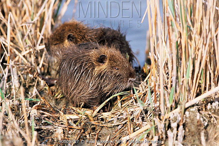 Nutria (Myocastor coypus) young resting in areed bed, France  -  Paul Hobson/ npl