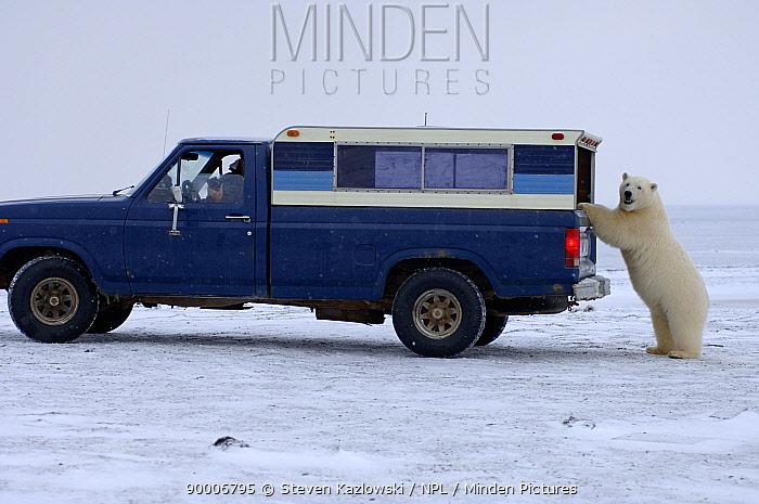 Polar Bear (Ursus maritimus) investigates a wildlife observers truck, Arctic National Wildlife Refuge, AlaskaSequence 1, 5  -  Steven Kazlowski/ npl