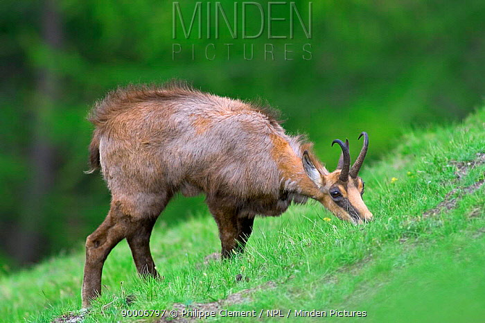 Chamois (Rupicapra rupicapra) grazing in Alpine meadow, Gran Paradiso National Park, Italy  -  Philippe Clement/ npl