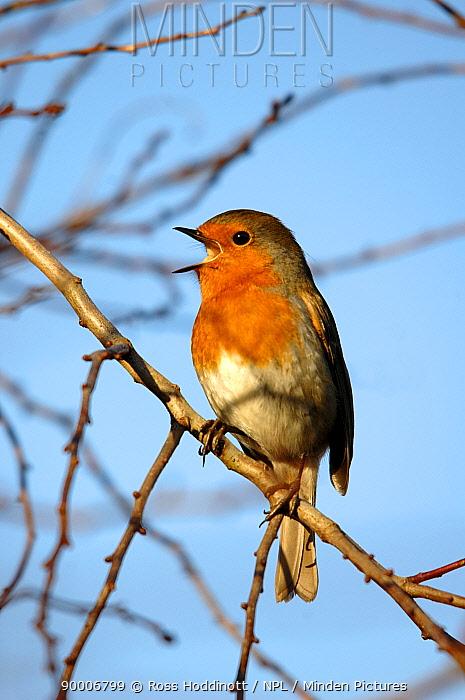 European Robin (Erithacus rubecula) singing in winter Cornwall, United Kingdom  -  Ross Hoddinott/ npl