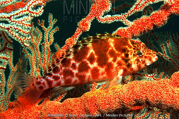 Spotted hawkfish (Cirritichthys oxycephalus) Andaman Sea, Indo-pacific  -  Brent Hedges/ npl