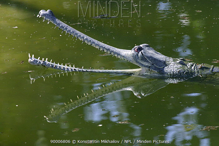 Gharial (Gavialis gangeticus) with mouth open, Rapati River, Chitwan National Park, Nepal  -  Konstantin Mikhailov/ npl
