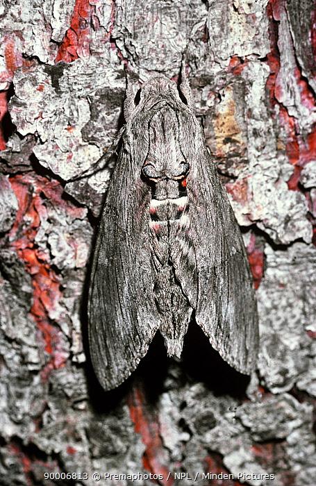 Convolvulus Hawk-moth (Agrius convolvuli) with wings closed at rest, Switzerland  -  Premaphotos/ npl