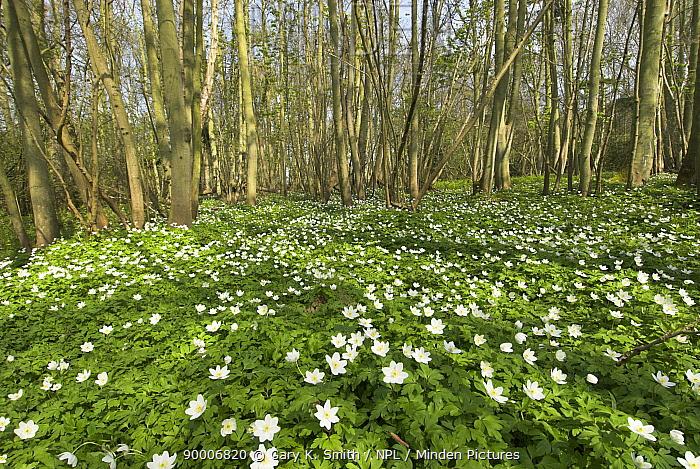 Wood Anemone (Anemone nemorosa) flowering in woodland, Norfolk, United Kingdom  -  Gary K. Smith/ npl