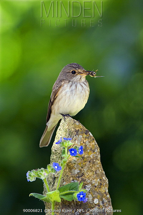 Spotted Flycatcher (Muscicapa striata) with insects in bill, on post with blue Alkanet flowers, Somerset, England  -  David Kjaer/ npl