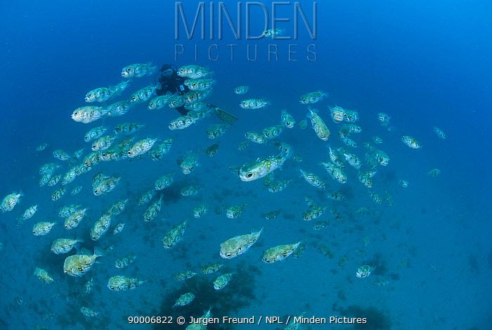 Diver behind school of pufferfish close to the HMAS Swan wreck, Dunsborough, Western Australia  -  Jurgen Freund/ npl