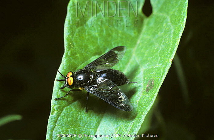 Splayed deer fly (Chrysops caecutiens), dark male, UK  -  Premaphotos/ npl