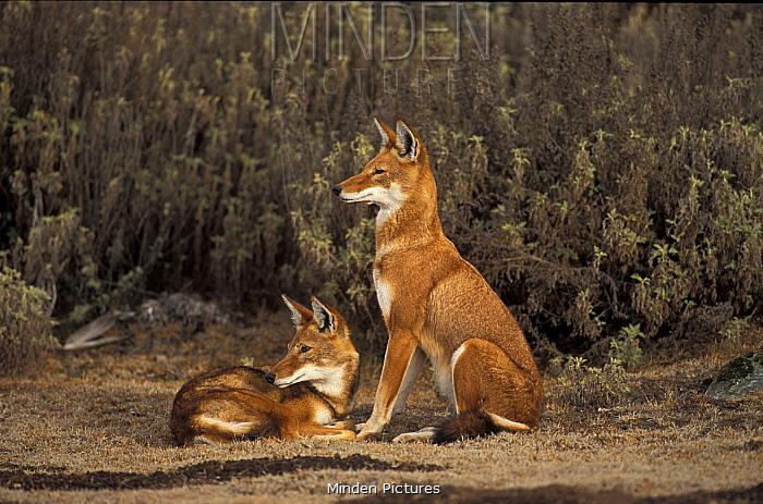 Ethiopian Wolf (Canis simensis) Bale mountains, Ethiopia  -  Andrew Harrington/ npl