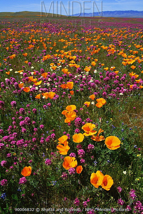California poppy (Eschscholtzia californica) flowers and Owls clover (Orthocarpus purpuraecens) in mixed wildflower meadow, Antelope Valley, California, USA 1995  -  Shattil & Rozinski/ npl