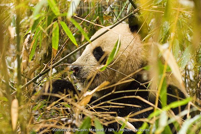 Giant Panda (Ailuropoda melanoleuca) eating Bamboo, Changqing reserve, Qinling mountains, China, 06, 'Wild China' series  -  Gavin Maxwell/ npl