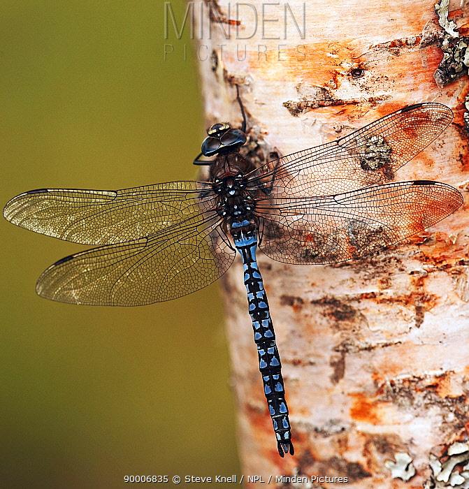 Azure hawker dragonfly (Aeshna caerulea) on tree trunk, UK  -  Steve Knell/ npl