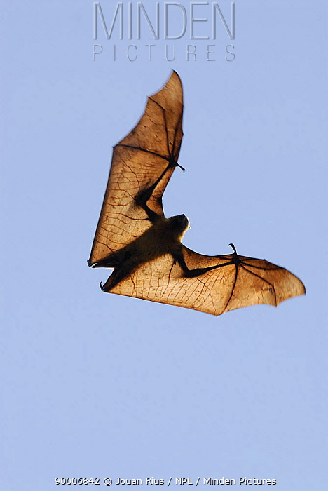 Madagascar Flying Fox (Pteropus rufus), dry forest of Berenty reserve, South Madagascar  -  Jouan & Rius/ npl