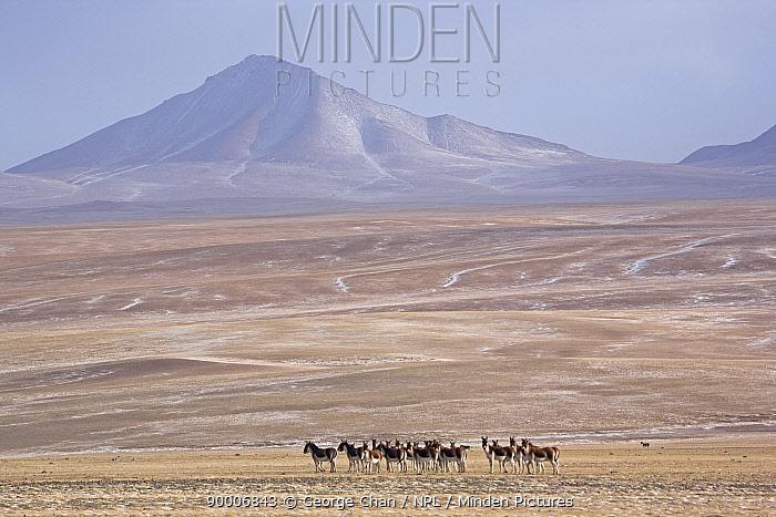 A herd of Tibetan Wild Ass (Equus kiang) roams the Chang Tang nature reserve in central Tibet December 2006  -  George Chan/ npl