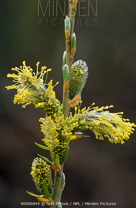 Catkin of Willow (Salix sp) with flowers and buds in stages of development, Scotland, UK  -  Niall Benvie/ npl