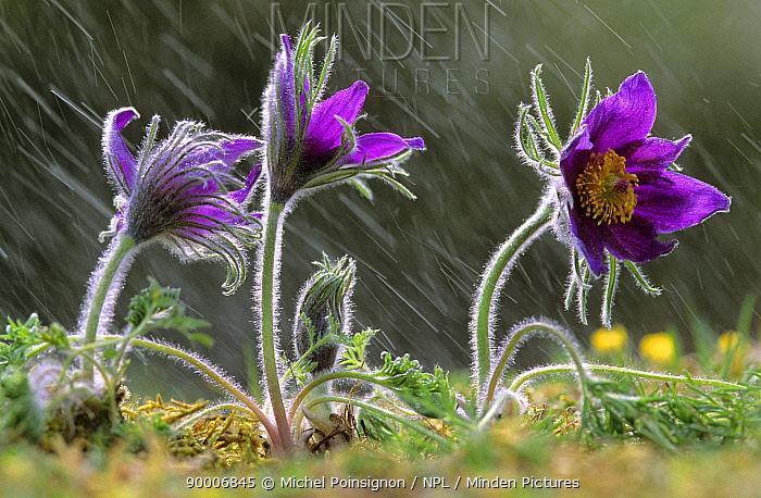 Dane's Blood (Pulsatilla vulgaris) in rain, Lorraine, France  -  Michel Poinsignon/ npl