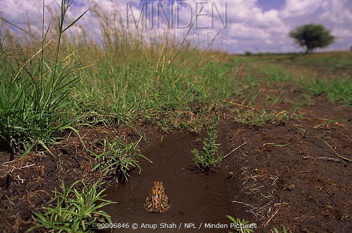 Toad sititing in rain puddle, Masai Mara, Kenya  -  Anup Shah/ npl