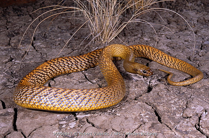 Inland taipan (Oxyuranus microlepidotus) investigating cracks in dried earth for its prey, the Long haired rat, Goyders Lagoon, South Australia  -  Robert Valentic/ npl