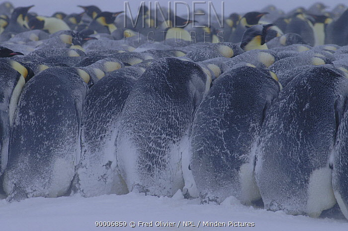 Emperor Penguin (Aptenodytes forsteri) hudddling together for protection in blizzard, Antarctica  -  Fred Olivier/ npl