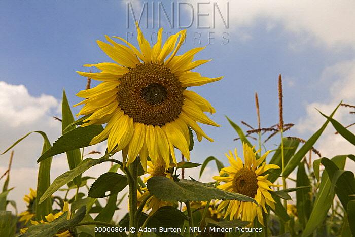 Sunflowers growing in a Dorset field, England  -  Adam Burton/ npl