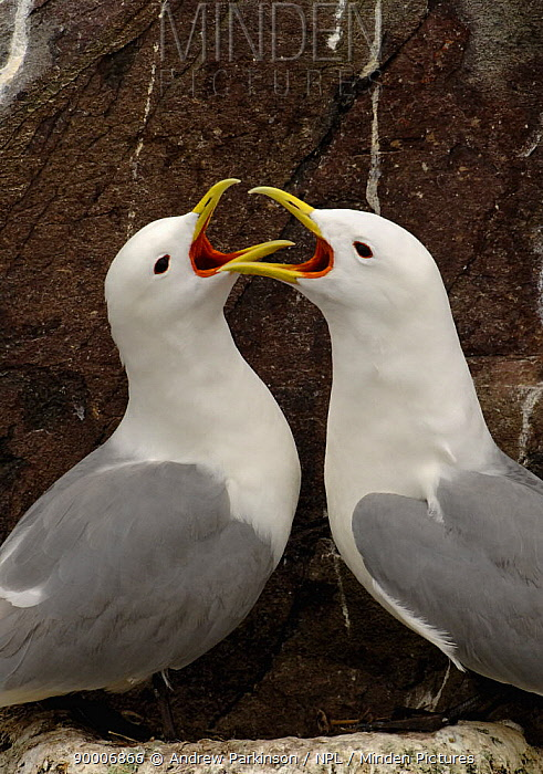 Black-legged Kittiwake (Rissa tridactyla) adults greeting each other after one returns to the nest site, Farne Islands, Northumberland, United Kingdom  -  Andrew Parkinson/ npl