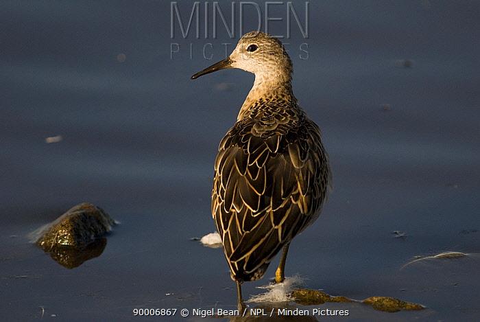 Ruff (Philomachus pugnax) Adult winter plumage, Martin Mere WWT Reserve, Lancashire, United Kingdom  -  Nigel Bean/ npl