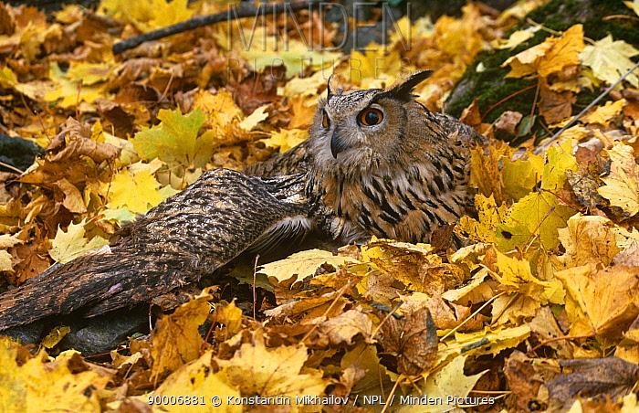 Tired South european eagle owl resting on ground (Bubo bubo interpositus) Russia  -  Konstantin Mikhailov/ npl