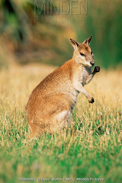Agile Wallaby (Macropus agilis) occurs tropical northern Australia open forest and coastal areas  -  Dave Watts/ npl